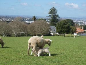 овцы Новой Зеландии